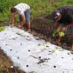 Plantio de mudas de alface